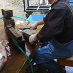 塩引き鮭の加工~笹川流れ