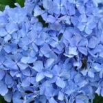 紫陽花~鰈山